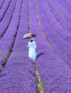 Lavender-fiield_n-229x300